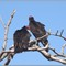 CR vultures_2