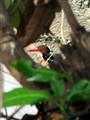 Blue throated kingfisher