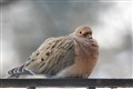 Mourning Dove on wrought iron rail