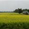 PEI Yellow Canola Flowers Medium Panorama DSC06746