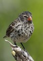 D is for Darwin's Finch