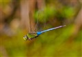 Blue Emperer Dragonfly