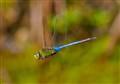 Blue Emperer Dragonfly