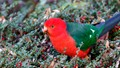 King parrot_168A7346