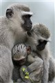 Monkey family in summer drizzle