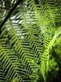 Green Tree Fern Frond