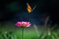 A butterfly flying away from a zinna