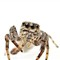 jumping_spider_4