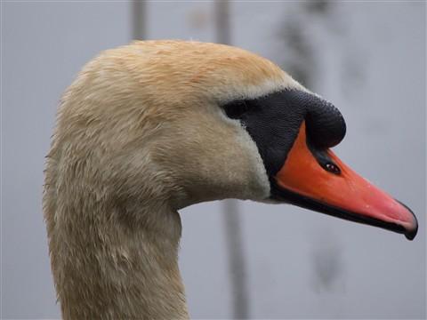 SwanHead