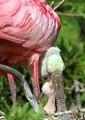 Spoonbill-chick