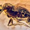 2017 Amber 041 March Diptera Brachycera