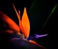 bird of paradise-