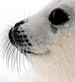 harp seal pup whiskers