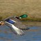 Ducks 5 122711