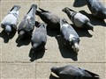 Picky Pigeons in NYC