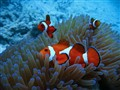 Anemone Clown Fish