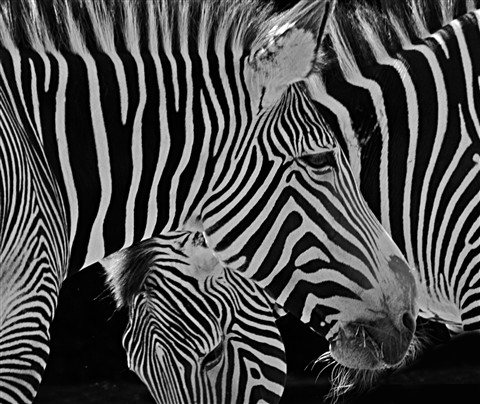 black and white zebra editc