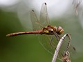 Dragonfly (Common Darter)