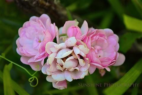 pinkminiroses