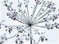 icey flower