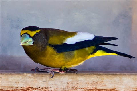 2011-05-03_Evening-Grosbeak_CS