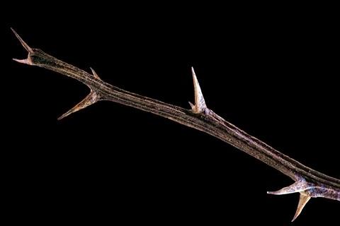 Thorny stem