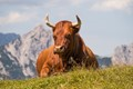 Cow, Karwendel mountains