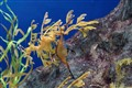 A pair of Leafy Seadragon