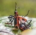 Ant eats Firebugs