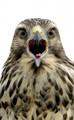 Immature Red Shouldered Hawk