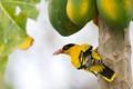 Black-naped Oriole  ( Oriolua chinensis )