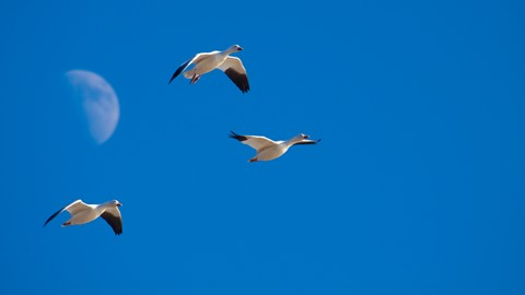 Snow Goose and the Moon