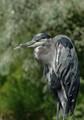sinister heron