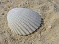 Bi-valve Mollusc
