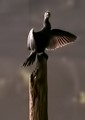 A Big year -Birds-Cormorant,drying wings on