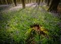 Bluebells in Micheldever Wood