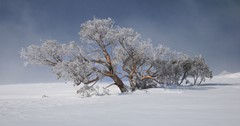 Snow blasted tree