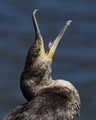 Great Cormorant (juvenile)