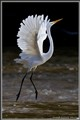 Great Egret Balerina