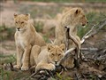 Lion Cubs - Cape Town