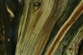 Chinese Cypress