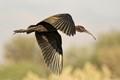 Ibis inflight