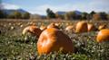 Boulder County pumpkin patch