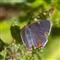 Gray hairstreak butterfly _MG_5682
