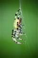Shamrock Spider