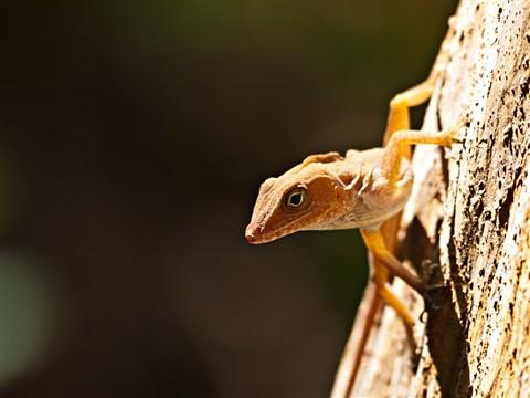 Lizard1080092