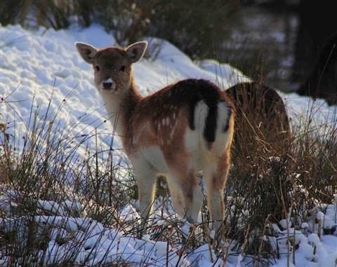 AN 023 Baby Deer..