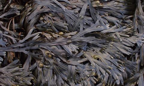 Berwick Seaweed 2 - 17mm