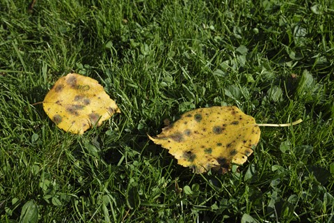 Two birch leaves