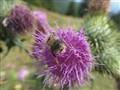 bumblebee closeup